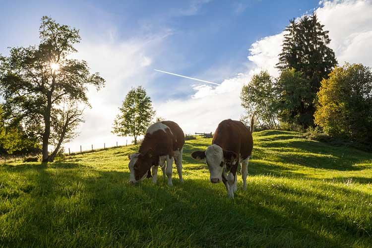Rinder auf der Sommerweide